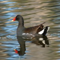 Goodbye Moorhen, Hello Gallinule
