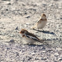 Jo Hays Vista: Snow Buntings and Golden Eagles