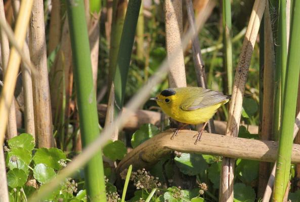 Wilson's Warbler - adult male at Newnan's Lake (Photo by Alex Lamoreaux)