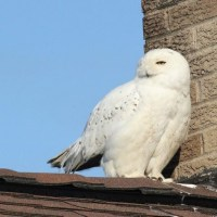 Snowy Owl - Armstrong County, PA
