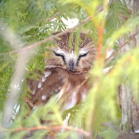 Finding a saw-whet owl