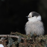Photo Study: Gray Jays in Algonquin Provincial Park