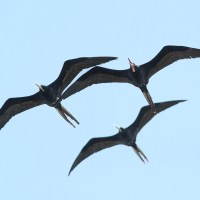 Magnificent Frigatebirds - Determining Age and Sex