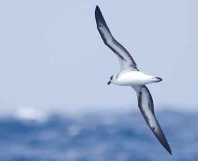 """Light-faced"" Black-capped Petrel"