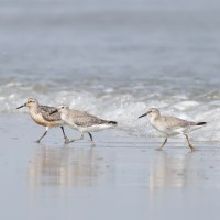 Stone Harbor Shorebirds