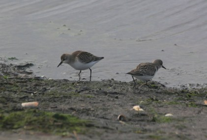 Semipalmated Sandpipers eating breakfast (photo by Steve Brenner)