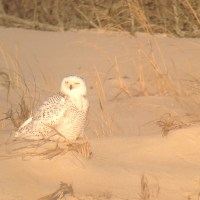 Weekend Digiscoping Spotlight 5 - Snowy Owls in Sussex County, DE