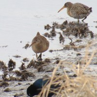 Weekend Digiscoping Spotlight 6 - Clapper Rails at Prime Hook NWR