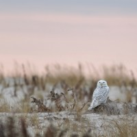 Snowy Owls from NY to NJ
