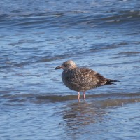 Digiscoping at the Indian River Inlet - a Phone Skope Big Year 2014 Update