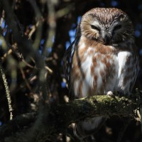 Backyard Saw-whet Owl
