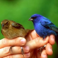 How long do Indigo Buntings live?