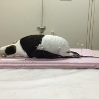 Deceased Long-tailed Duck undergoes a makeover