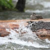 Photo Study - Idaho Harlequin Duck