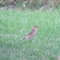 The NNY Northern Wheatear
