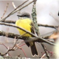 Video! Couch's Kingbird - Allegany County, Maryland