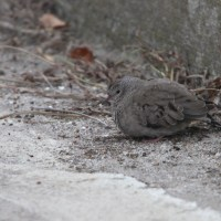 Long Island Chase - Common Ground-Dove 11/16