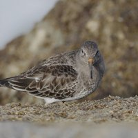 Photo Study - The Ponce Inlet Purple Sandpiper
