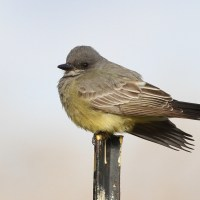 Winter Kingbirds of NYC