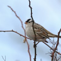 Gambel's White-crowned Sparrows in PA