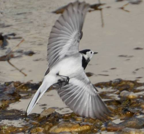 Pied Wagtail Jan 6th