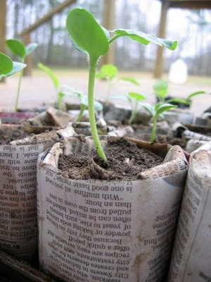 Plant seedings in Newspaper Pots