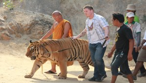 Why the Thailand's Tiger Temple is coming to an end!!!