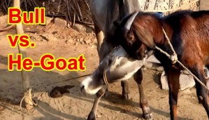 OMG! This goat almost defeated the bull. Hard to believe but true!