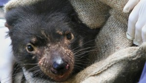 Here is the reason why fatal cancer is threatening Tasmanian devils!