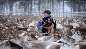 Reindeer in Norway still suffering from Chernobyl radiation!
