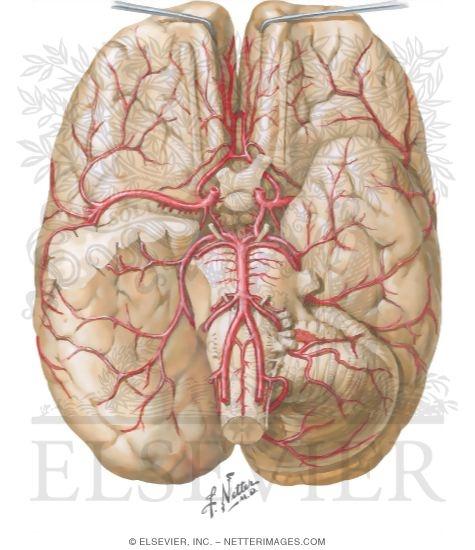 Brain Arterial Supply