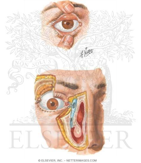 Orbit Eyelids and Lacrimal Apparatus