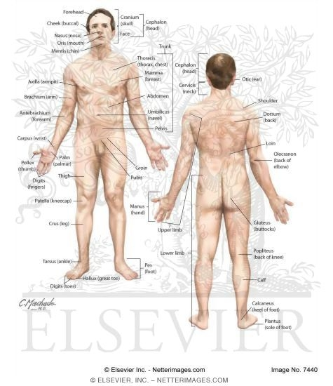 Anatomical Position of the Body - anatomical position