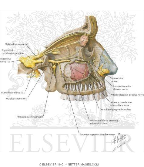 Maxillary Sinus Nerve Supply