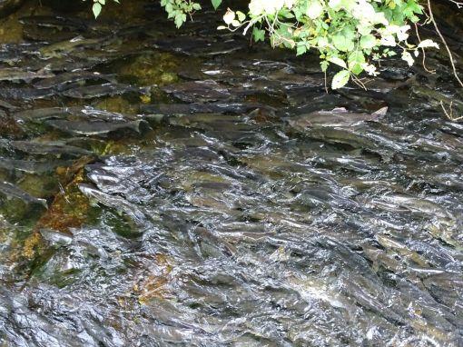 Lachse im Ketchikan Creek