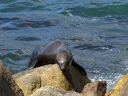 Seelöwe in der Hout Bay