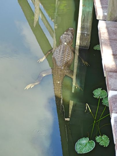 Alligator in den Everglades