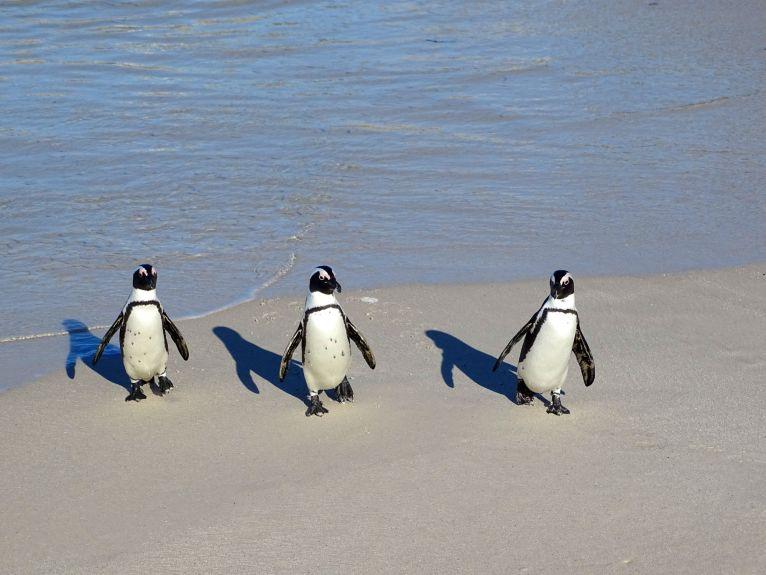Pinguine, Kapstadt