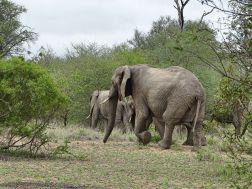 Die Elefanten entfernen sich von uns