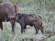 Büffel-Jungtier im Klaserie Private Nature Reserve
