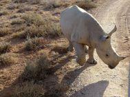 Neugieriges Nashorn-Jungtier
