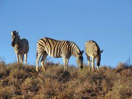 Zebras im Sanbona Wildlife Reserve