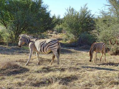 Zebra mit Jungtier im Sanbona Wildlife Reserve