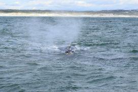 Blas eines Southern Right Whales