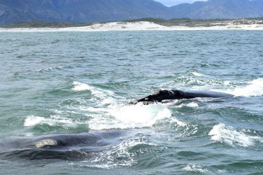 Wale ganz nah während einer Walbeobachtungstour in Hermanus