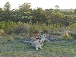 Löwen im Gondwana Game Reserve