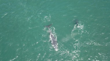 Southern Right Whales in De Kelders