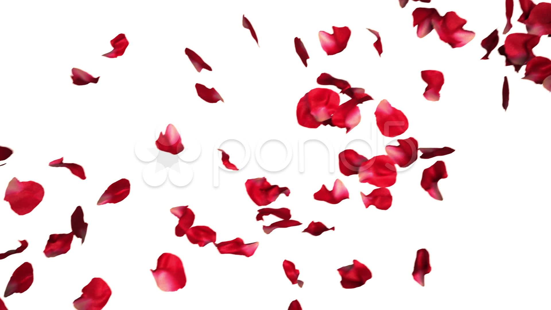 Rose Petals Falling Wallpaper Transparent Gif 10 Falling Rose Petal Psd Images Falling Rose Petals