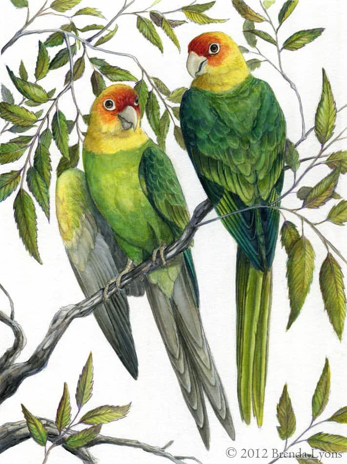Cute Parakeet Wallpaper Carolina Parakeet Facts And Pictures