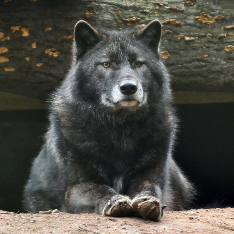 Large Of Male Wolf Names